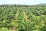 Une plantation de palmiers à huile. Photo Shutterstock / wandee007