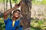 Yoga, 14 ans, ne va pas en classe. Il est saigneur d'hévéas dans une petite exploitation indonésienne. Photo: Danwatch