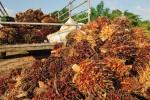 Des fruits de palmiers fraîchement cueillis. Photo Shutterstock / think4photop