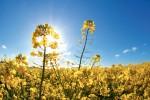 Le colza Cibus, issu de la mutagénèse dirigée, est déjà commercialisé hors de Suisse - Shutterstock.com