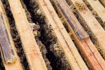 Les cadres de ruche amovibles facilitent le travail. L'apiculteur peut ainsi contrôler l'état de santé de la colonie.