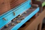 En 2016 à Lausanne, les abeilles ont produit 15kg de miel par ruche en moyenne malgré un début de saison pluvieux.