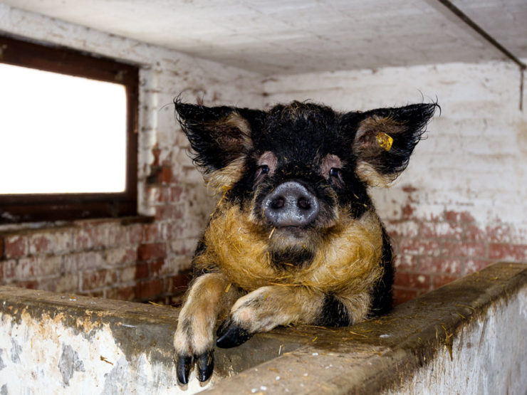 Cochons Laineux vis ma vie de cochon – fédération romande des consommateurs