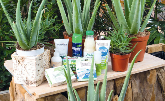 L'Aloe vera aux 100 vertus et 1000 méfaits