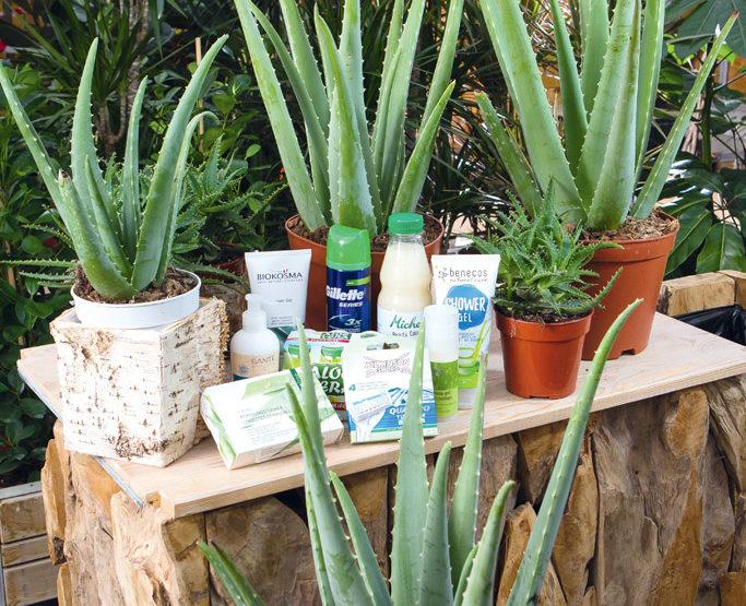 L Aloe Vera Aux 100 Vertus Et 1000 Méfaits Fédération